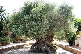 Yaşlı Zeytin Ağacı