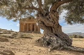 Mitolojide Zeytin Ağacı