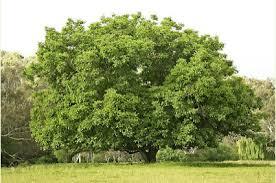 Ağacı uzun yıllar yaşar
