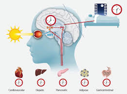 Biyolojik saat ve bedenin ritmi
