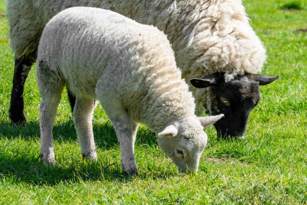 Kurban bayramında hayvan kesmek