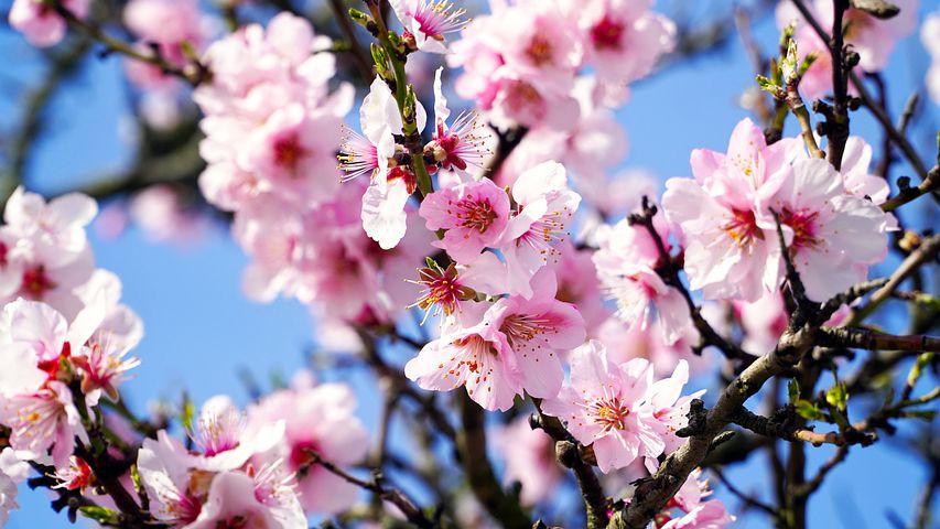 Badem ağacı çiçeği