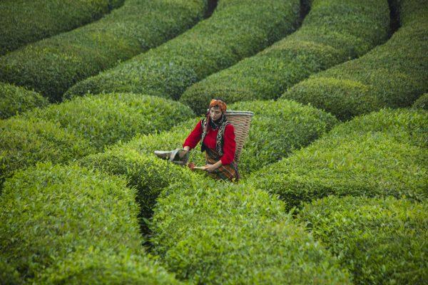 Çay Rize Haremtepe köyü