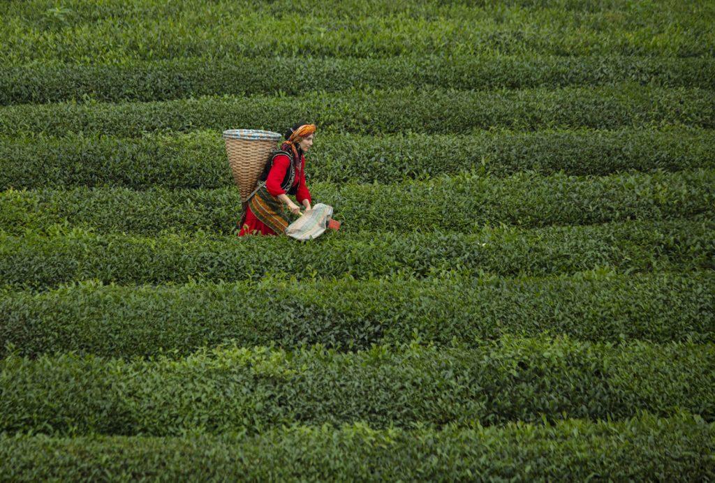 Haremtepede çay hasatı
